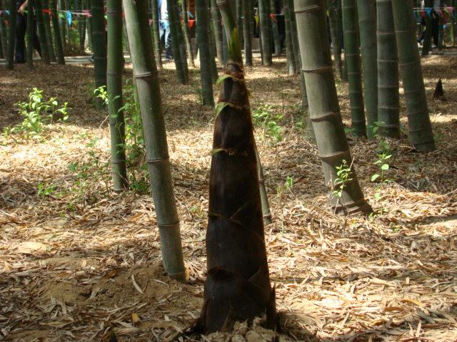 (原创)山间竹笋难成歌: - liangshange - 一线天