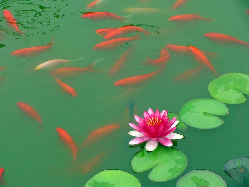 小鱼图片可爱 壁纸