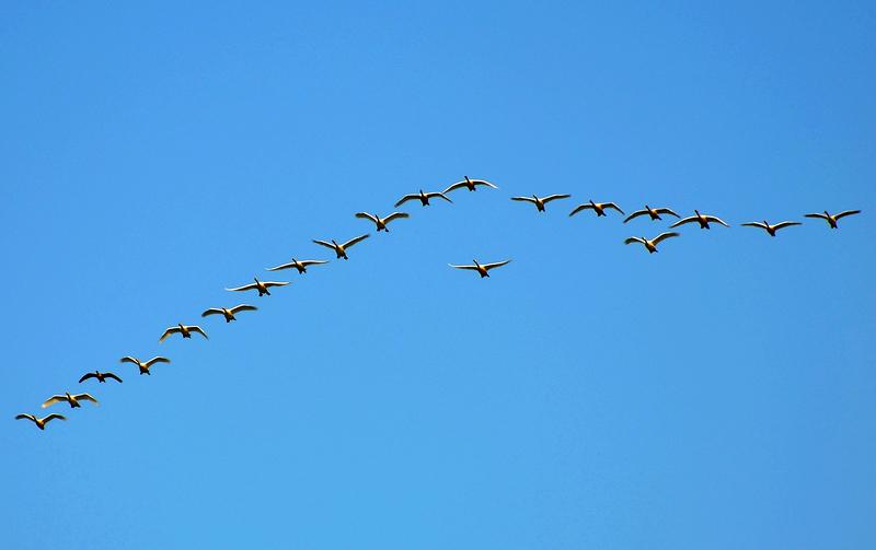 迁徙的天鹅-1;; 八月月赛区—qq怎么弄指定红包植物 迁徙的天鹅 - 八月月赛区—