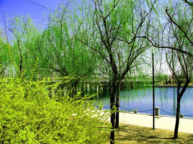 河边柳树绘画作品
