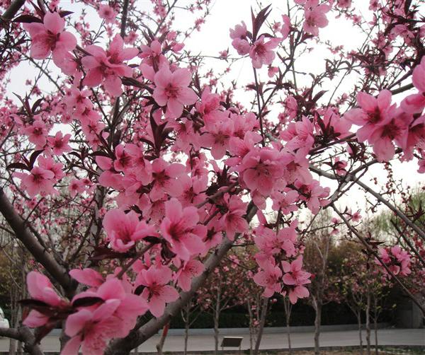 路过春天 桃花灿烂