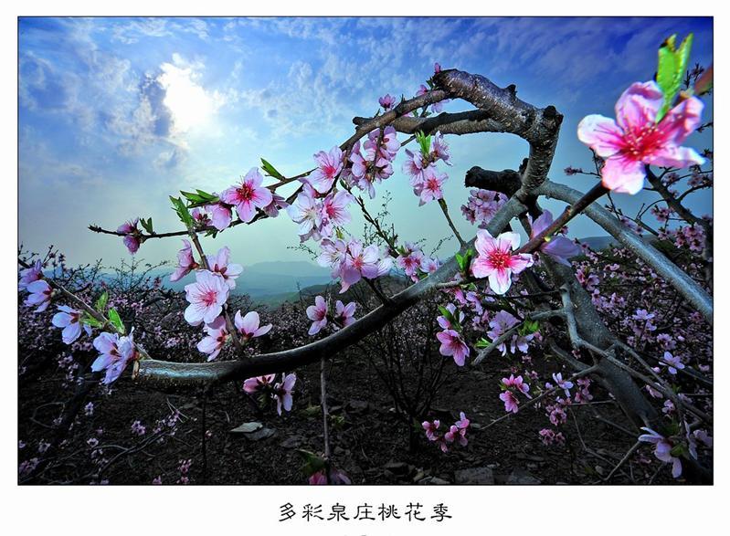 多彩泉庄桃花季