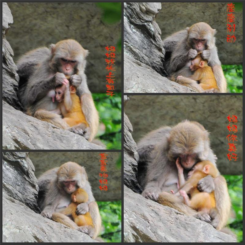 世上只有妈妈好--猴的动人故事