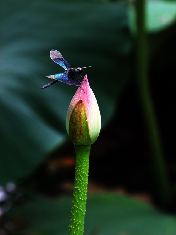蜻蜓戏荷花