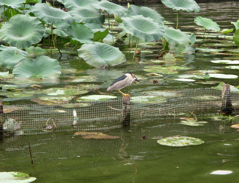 大明湖候鸟
