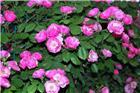 蔷薇蔷薇朵朵开6