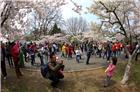 中山公园樱花如雪