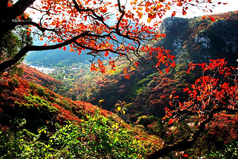 霜打红叶 叶更红