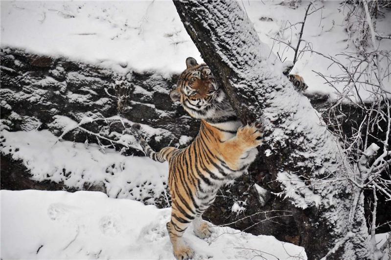 12月29日,青岛森林野生动物世界的一只东北虎在雪