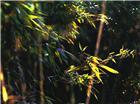 第一幅   雪。竹; 第二幅  竹林清风