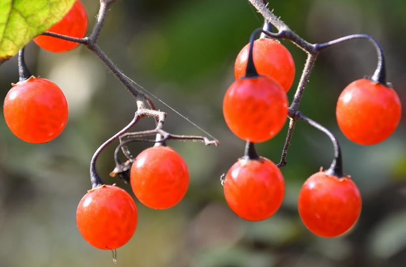 壁纸 矢量 水果 小果 植物 800_527