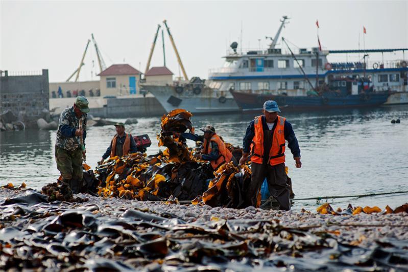 作品简介:                           烟台大钦岛收获海带