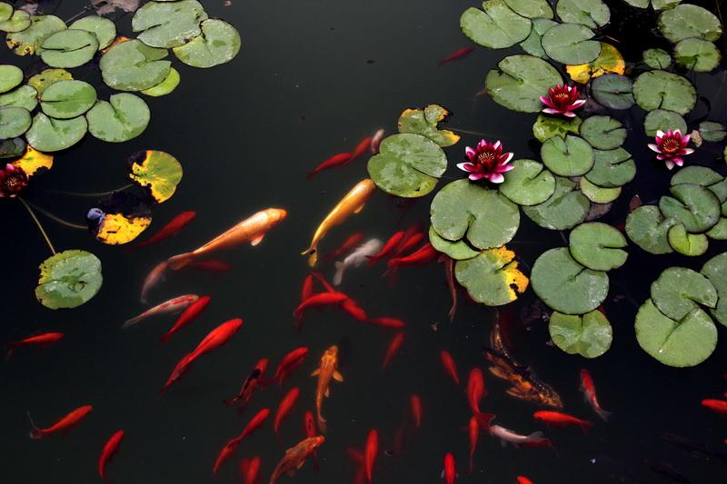 鱼戏莲叶间图片