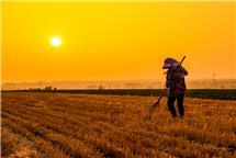 夕阳下收麦