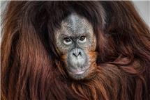 《人类的近亲——红毛猩猩》