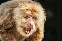 《猴中之王——金毛犼》