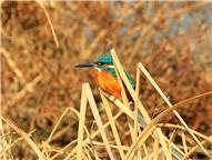 冬日的翠鸟