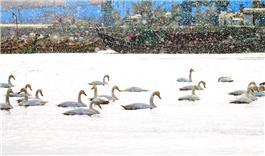《风雪天鹅湖》
