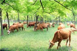 《槐林牧牛》