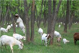 《槐林牧羊》