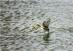 河中水鸟有鱼吃