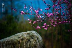 桃花朵朵映彩石
