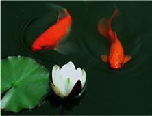 红鲤戏白莲