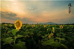 泰山脚下向日葵