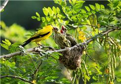 《黑枕黄鹂鸟育雏》
