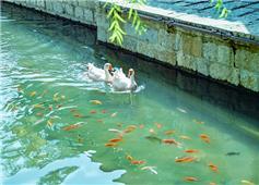 白毛浮绿水 红鱼水中乐