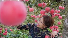苹果丰收了