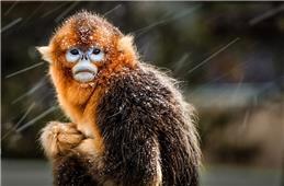 《风雪中的金丝猴》