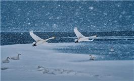 《鹅雪双飞》
