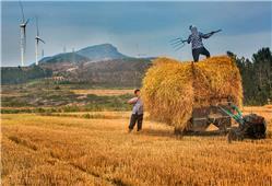 五月农家收麦忙