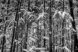 雪,遇见竹