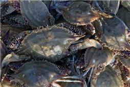 《渤海梭子蟹》