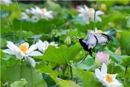水中凤凰——水雉
