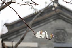 玉兰花开笑迎春