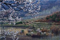 春天的茶园