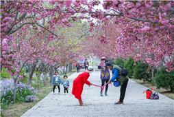 濯村樱花节