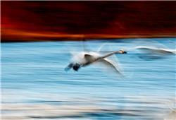 飞舞的天鹅