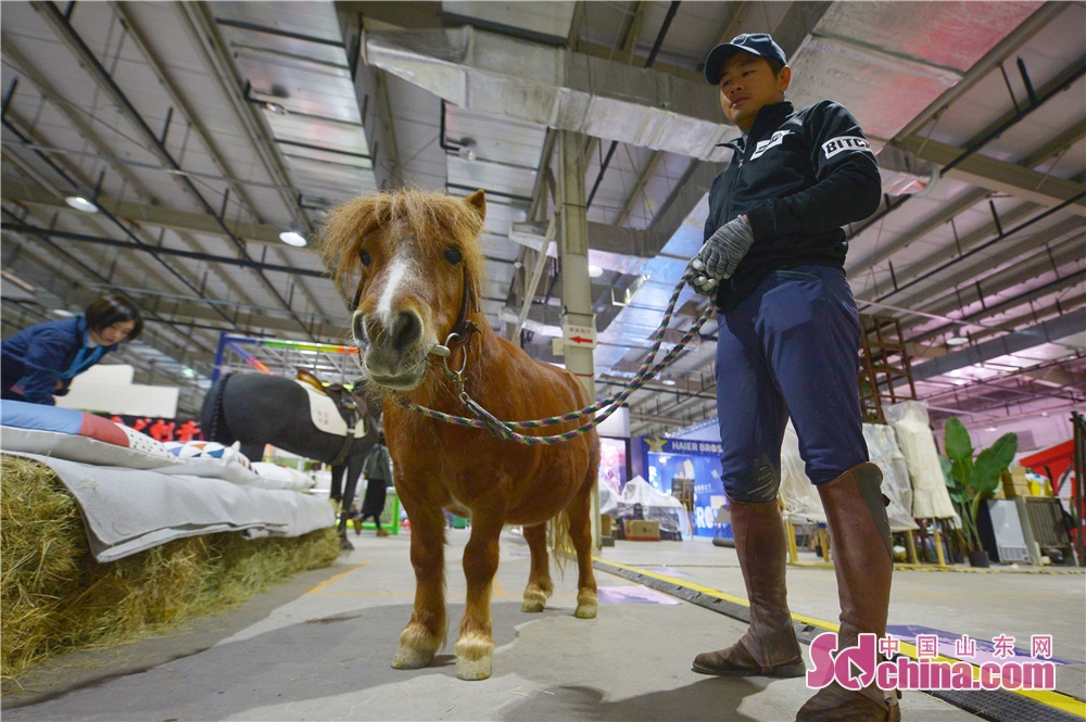 Photo taken on October 18, 2018 shows a French pony during the Woo Qingdao Festival in Qingdao, east China's Shandong Province. The festival feasts the visitors with works of art, design, life and music.<br/>