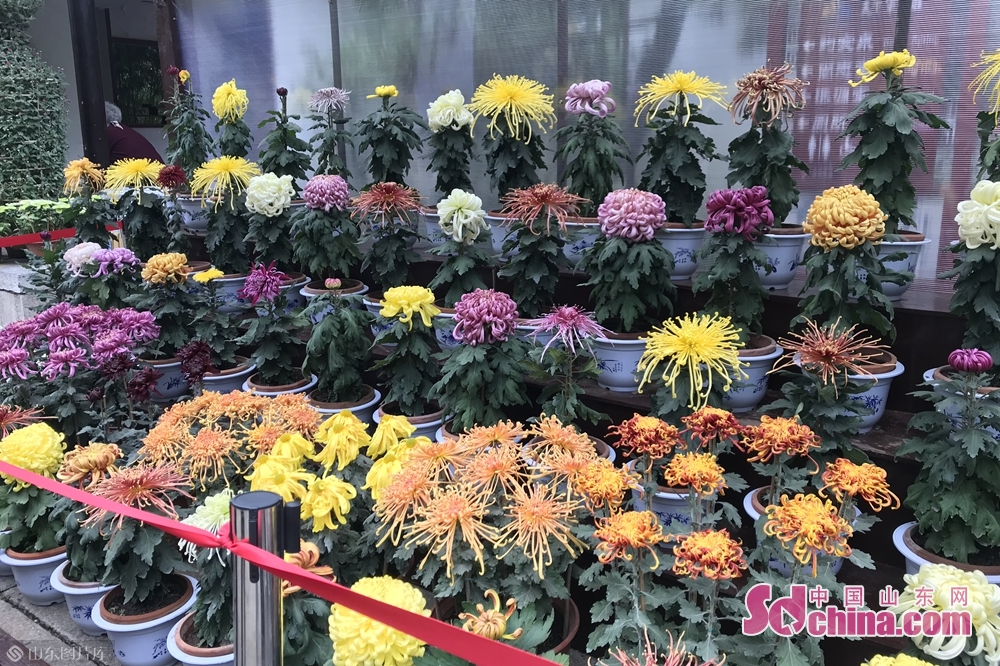 Photo taken on Dec. 10, 2017 shows blooming chrysanthemum flowers in Jinan, east China's Shandong Province, Oct. 25, 2018. A chrysanthemum fair kicked off here on Thursday and will last until November 25, 2018. . (Sdchina.com/Liu Zirui)<br/>
