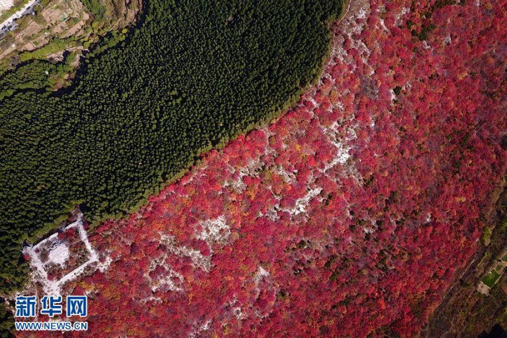 10月26日,济南楔子山南半坡红叶如火,北半边却是松柏青翠(无人机拍摄)。