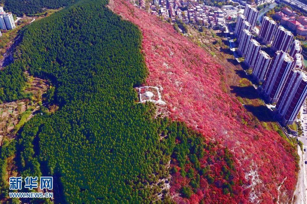 <br/>  一山红绿泾渭分明堪称奇观,引来市民欣赏。<br/>