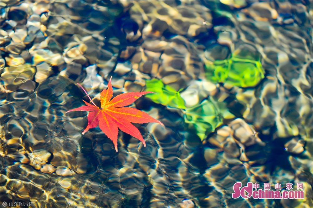 2018년 10월 30일, 이 사진은 산동성 청도시 노산 북구수에서 찍은 가을 홍엽이다.<br/>