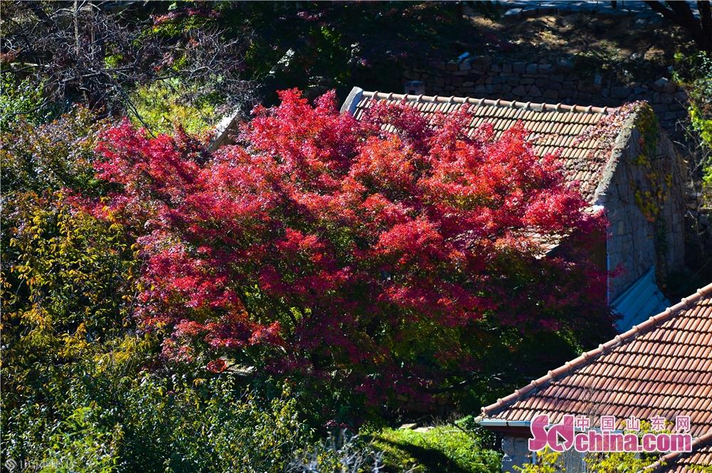 2018년 10월 30일, 이 사진은 산동성 청도시 노산 북구수에서 찍은 가을 그림이고, 상염은 점점 붉어지고 오색찬란하다.<br/>
