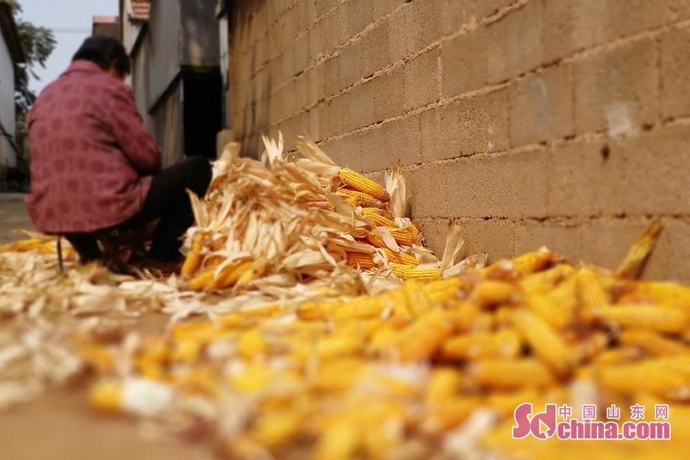 &amp;ldquo;春种一粒粟,秋收万颗子。&amp;rdquo;十一国庆假期恰逢秋收时节,齐鲁大地一派丰收的景象,此时正是收获玉米、黄豆的季节。图为临沂市沂南县大桥村村民正在剥玉米。<br/>