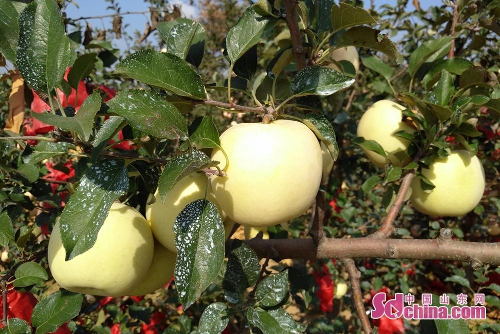 <br/>  刚摘下果袋的苹果,白白嫩嫩的果皮,娇贵的很。<br/>