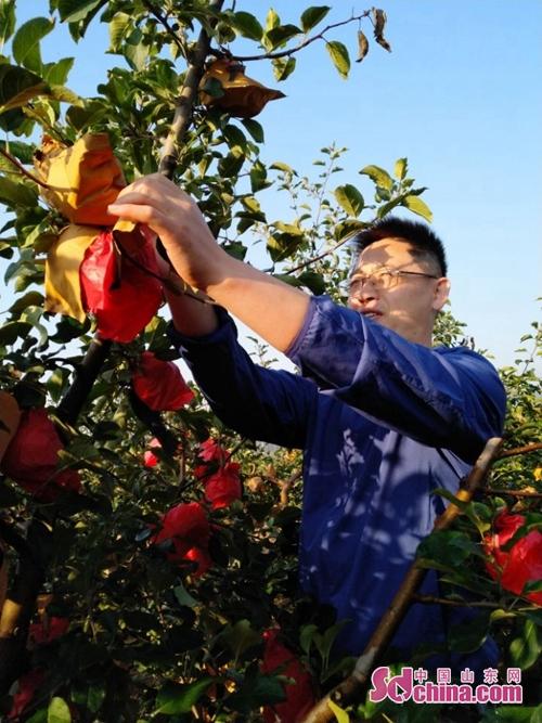 <br/>  苹果好吃树难栽。随着环保观念的深入人心,近些年,苹果流行套袋穿新衣。<br/>